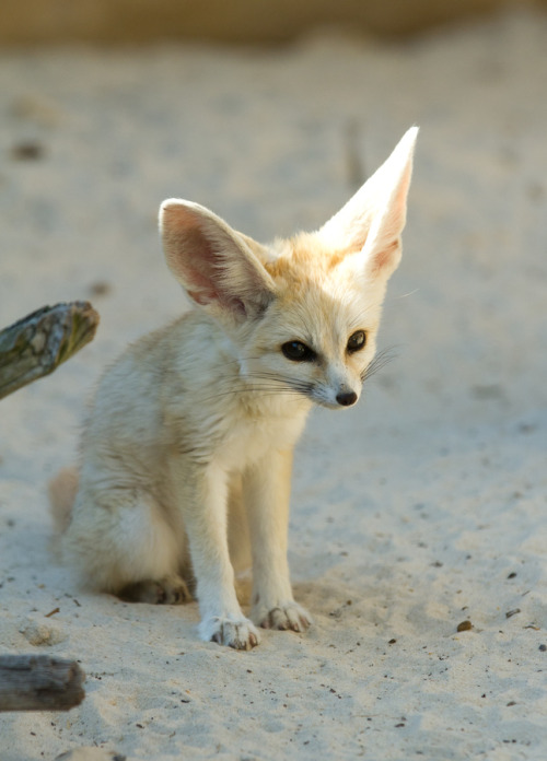animalkingd0m:  Fennec fox ( Vulpes zerda ) by steven whitehead