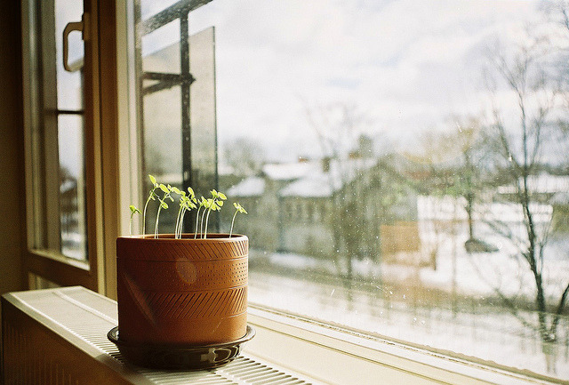 julenzii:  my sister grows her own basil by Liis Klammer on Flickr.