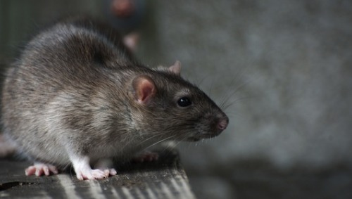 mothernaturenetwork:  Massive rat sterilization in the works for NYC Rendering mama subway rats infertile is the latest plan to tame the rampant rodent predicament.
