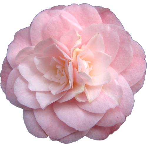 transparent-flowers:  Camellia japonica. 'Little Bo Peep.' (x).