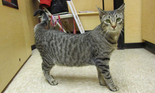 This is Wendee. She is available for adoption through Stray Cat Blues at the Petsmart in Collegeville, Pennsylvania. 3/1/13. http://www.petfinder.com/petdetail/25414218