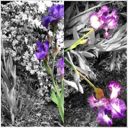 "Summer of p-i-n-K: the ""k"" is made of the irises in my yard #gimmek #pink #pinknation #victoriassecret #k #picstitch #collage #colortouch #blackandwhite #color #iris #irises #flower #pretty  (at Perrysburg, Ohio)"