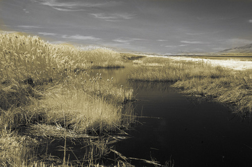 Reeds along the water, Bear River Wildlife Refuge, Utah on Flickr.