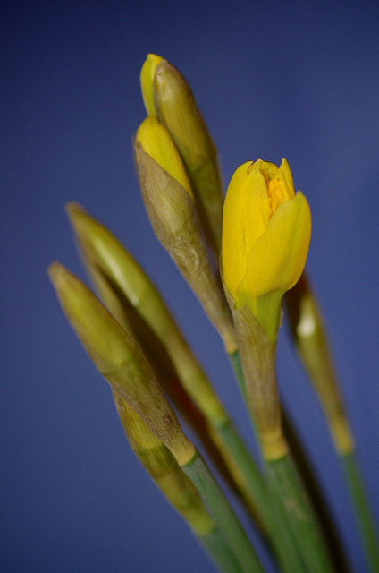 First day of spring with daffodils on Flickr.Via Flickr: Daffodils to cheer me up and remind me that hopefully winter is on its way out…