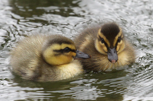 honeygirl1946:  Mallard chick 6 by *SnowPoring