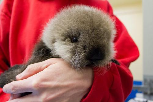 zooborns:  Alaska SeaLife Center Rehabs Baby Otter For New Home at Vancouver Aquarium  This orphaned female Sea Otter pup was rescued off the side of a road by Alaska SeaLife Center volunteers on October 19, 2012, after efforts to locate her mother were unsuccessful and the U.S. Fish and Wildlife Service authorized the intervention.The pup was immediately transferred to its I.Sea.U. critical care unit in Seward, Alaska for emergency treatment. She was estimated to be approximately eight weeks old when found, and was deemed non-releasable by the U.S. Fish and Wildlife Service due to the maternal care required by young otters. She has just been transferred from the Alaska SeaLife Center to its new permanent home at the Vancouver Aquarium, which will allow the pup to receive the ongoing care and companionship she needs.  See more cute photos and a video, and learn more about the efforts to take care of the pup at ZooBorns!  Aww, Katmai looks so little in that photo. I can't wait to go back to Vancouver Aquarium to see her again!