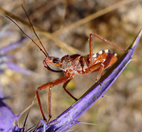 Assassin Bug (Rhinocoris erythropus), family Reduviidae, Southern Spain Wikipedia: Species of this genus are noted for providing parental care of offspring. Parental care is unusual in subsocial insects, having only evolved six times in the Heteroptera. R. tristis for example, is well known for guarding egg masses… (photo: gailhampshire | Flickr)
