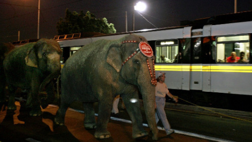 Los Angeles considers ban on circus elephants     The move would block the Ringling Brothers circus from bringing their popular pachyderms to the city.