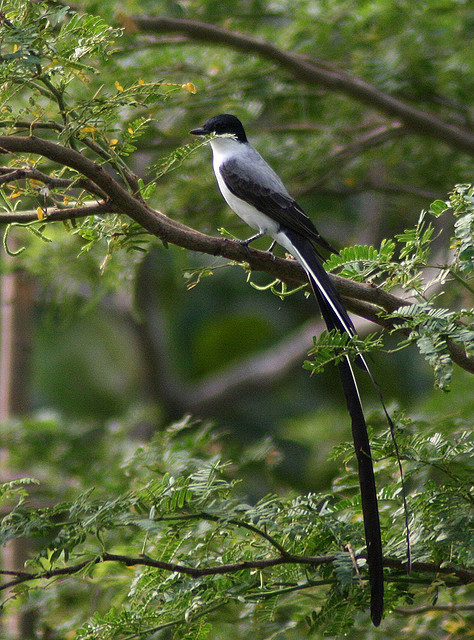 Fork-tailed Flycatcher, Tyrannus savana by sngcanary on Flickr.