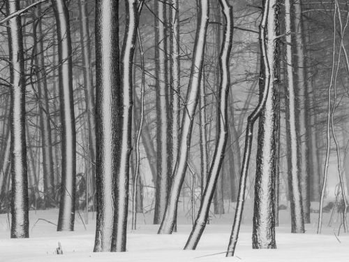 Trees in Snow  Photograph by John Lucic