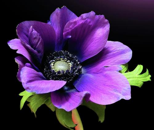 r3v33:  Anemone. Victorian flower of sorrow and death  Love this flower