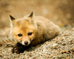theanimalblog:  Baby Red Fox. Photo by PixelHawk