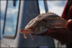 "zeniverica:  lake sturgeon (Acipenser fulvescens) (by the fresh aspect)  Ontario's largest and longest-lived fish is one of the planet's most beleaguered animals. Show us your ""sturgeon face"" in support of protecting all of Ontario's endangered species: http://on.fb.me/11eC9LL."
