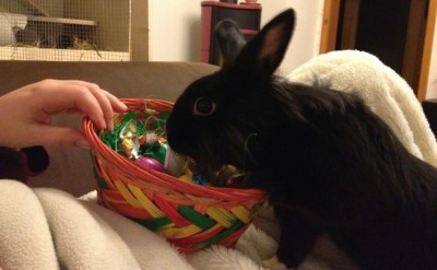 dailybunny:  Bunny Searches for Some Tasty Greens Amid All of Human's Chocolate Happy Bunday! Thanks, Jens!