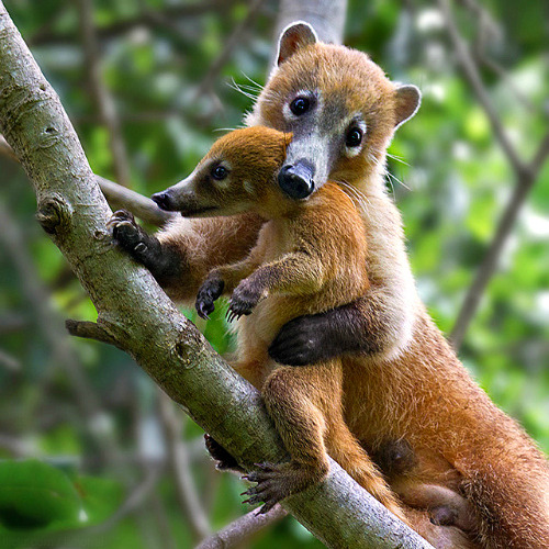 giraffe-in-a-tree:  Coatimundi by Gabriel.Lascu