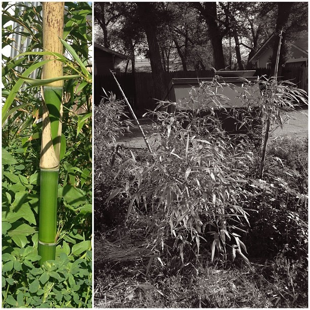 "#thetwotowers #bamboo #mygarden #garden #boo grew 18"" a day this weekend."