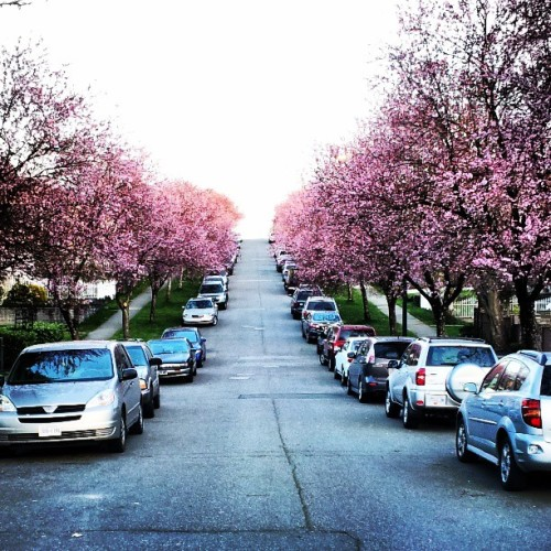Cherry blossoms are in full bloom in East Van!