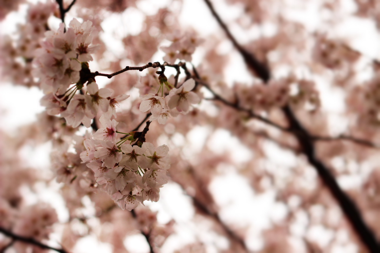madreamery:  Cherry blossoms
