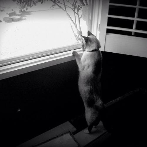 Yet another cat peering out the window. #cats #siamese #blackandwhite #pets #standing #potd #photooftheday #igers #igdaily #instacute #instalove #kitten #kitteh