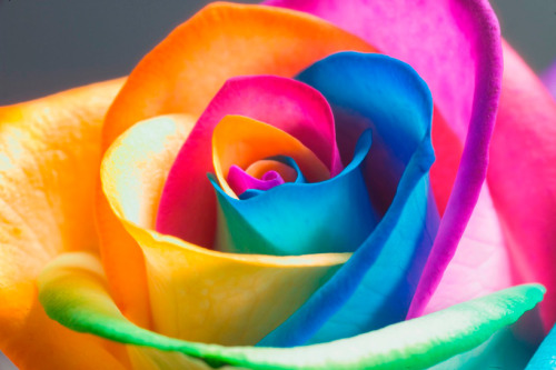 gaksdesigns:  The 'Rainbow Rose' is an artificially colored rose that exploits the flower's natural processes of drawing water up the stem. Through splitting the stem in equal parts and dipping each splinter in water with different food dyes the petals become multicolored. Check out the How To Make a Rainbow Rose video HERE.