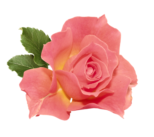 flower tumblr transparent - photo #7