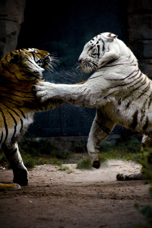 earthandanimals:  Clash of the Titans Photo by Jason Carne