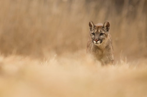 "wild-earth:  ""Puma Concolor"" by Milan Zygmunt"