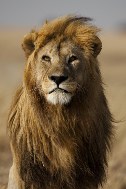 x-enial:  Lion male with golden mane, Serengeti, Tanzania by Mogens Trolle