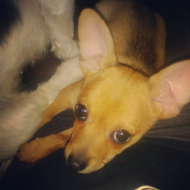 murphy!! #dog #cute #chihuahua #bigeyes #adorable