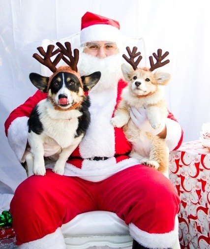 twosillycorgis:  Last years reindogs.  Omg. Jiggles' face. THAT FACE.