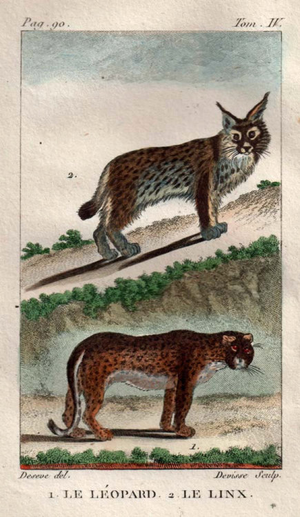 1802 Antique Animal Hand Painted Engraving Felines Leopard and Lynx , From Buffon's Natural History at CarambasVintage http://etsy.me/16WXkUt