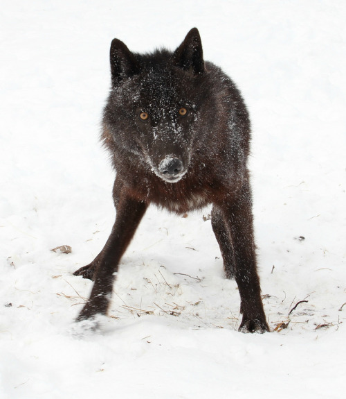 llbwwb:  Black Wolf - Explored (by MLGreenly)