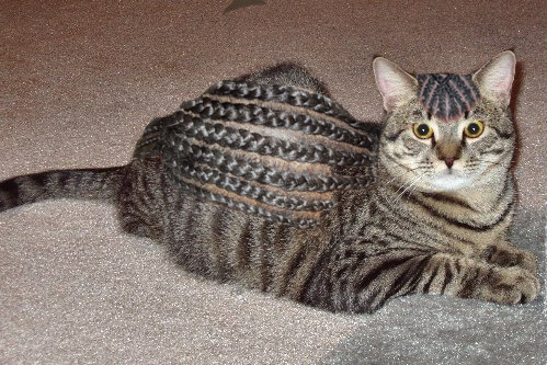 crystalcats:  tibets:  cat w/ corn rows  i am laughing so hard