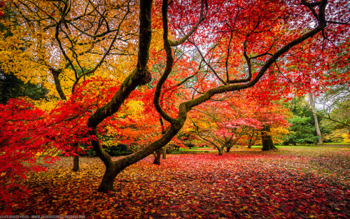 travelthisworld:  Japanese Red Maple - Westonbirt, Gloucestershire, England | by Fragga
