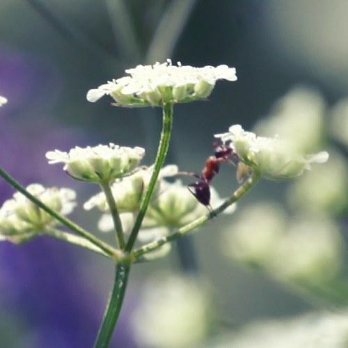 #grandcastelou #narbonne #apiaceae #cerfeuilsauvage #fourmi #nature #biodiversite (à Grand Castelou)