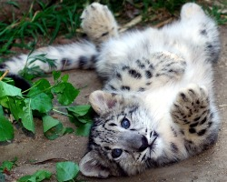 animals cute baby animals cute animals cute baby animals Wild Cat wild cats snow leopard wildcats wildcat snow leopard cub snow leopards snow leopard cubs baby snow leopard baby snow leopards