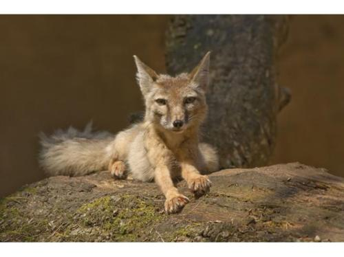 ninewhitebanners:  The scruffy Corsac Fox lives in the Mongolian Gobi Desert. Korsac foxes do not need to drink water, they get all the water they need from their prey. They also have hooked claws for climbing trees.