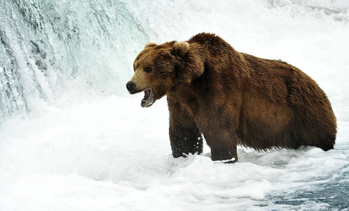 earthlynation:  Grizzly by sedats