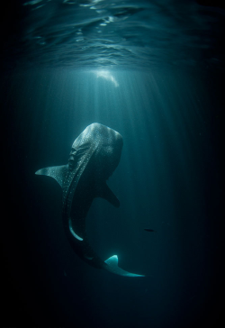 "stolenshamelessly:  ""Stunning capture of a whale shark"""