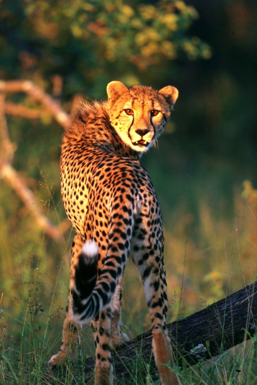 earthlynation:  Cheetah by Catman-Suha
