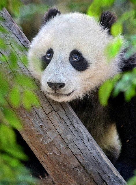 sdzoo:  The eyes of Wu by Ion Moe Panda cub Xiao Liwu makes googly eyes at his many admirers at the San Diego Zoo.