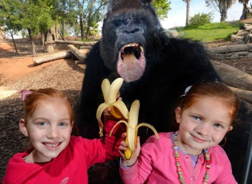 allcreatures:  Gorilla Photobombs Two Youngsters at Werribee Open Range Zoo In Melbourne, Australia