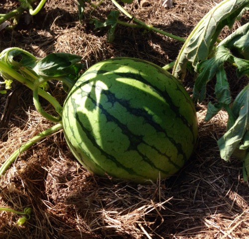 With summer coming slowly to its close, we came out to our CT garden this weekend to check on our end of August vegetables.   We have watermelon!!
