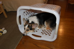 corgiaddict:  submitted by http://runaway-dream-machine.tumblr.com/