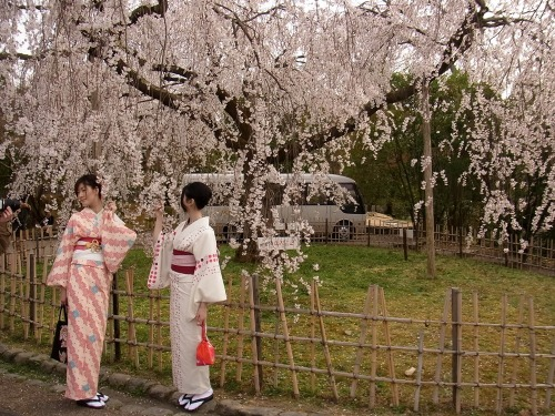 kumako365jp:  cherry blossoms in Kyoto early April 2013