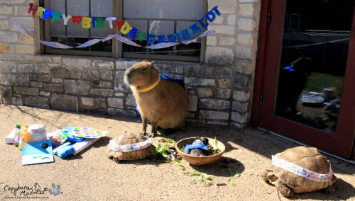 Garibaldi Rous had a little party for his third birthday. His two tortoise co-pets, Leah and Casseo, and his guinea pig co-pet, Winston Bumblebee Barcode the 1st, all shared a big bowl of lettuce with him to celebrate.