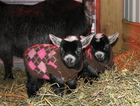 thwomps:  2 baby goats in sweaters!!!