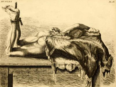 Dissection to show the superficial muscles of the back This engraving by the anatomist John Bell displays the trapezius and latissimus dorsi muscles of the back. These opposing muscles connect to the vertebral column and contribute to the strength of the upper extremity. Engravings of the bones, muscles, and joints: illustrating the first volume of the Anatomy of the human body. John Bell, 1817.