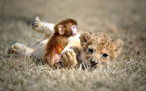 allcreatures:   A baby lion and a baby monkey play at the Guaipo Manchurian Tiger Park in Shenyang, capital of northeast Chinas Liaoning Province  Picture: Caters News Agency (via Animal photos of the week: 20 April 2013 - Telegraph)