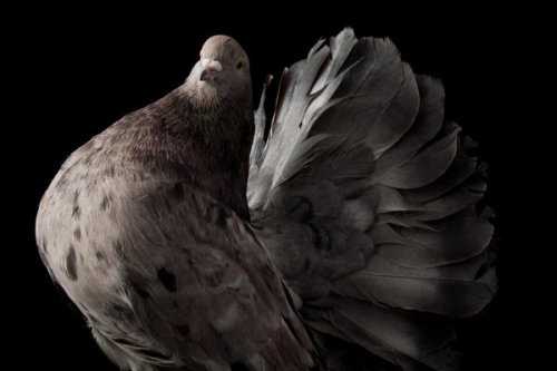 "open-scrutiny:  Darwin's Pigeons, in All Their Genetic Variety From the New York Times with photos by Richard Bailey ""They might be called the ""rats of the sky,"" but Charles Darwin certainly saw something in pigeons. It turns out the father of evolution saw in the bird an amazing variety of variation in color, shape and form. Richard Bailey, a photographer based in London, honored the 150th anniversary since the publication of ""On the Origin of Species"" and the 200th anniversary in 2009 of Charles Darwin's birth by photographing some of the pigeon breeds that played such an important part in Darwin's work.""  Aaaahhhhh so much variation from your lowly common pigeon. As much as people complain about them all the time, I will still love them regardless.  And I remember reading the article about the huge variation in them last week at work. I wish I remembered to save the link to that article, but the one they give you here the link is pretty good too. So enjoy folks."